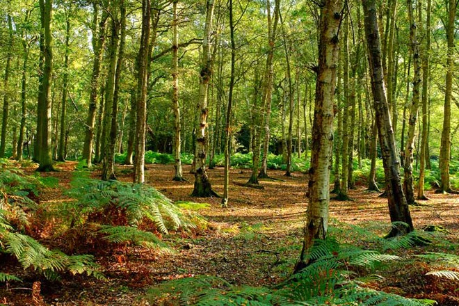 Epping Forest - Birches