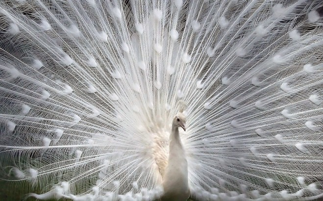 A Whiter Shade of Pale - peacock