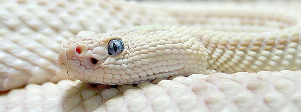 A Whiter Shade of Pale - snake