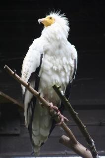 Scheherazade - vulture