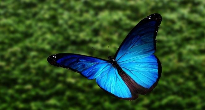 Elusive Butterfly - blue morpho