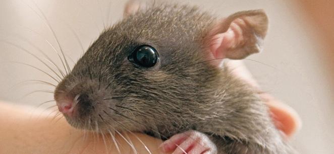 lovable rat